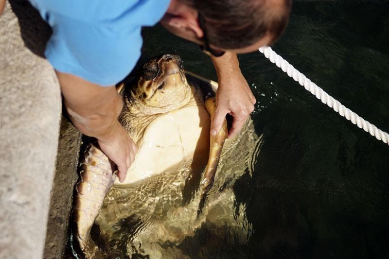 Pronađena uginula glavata želva