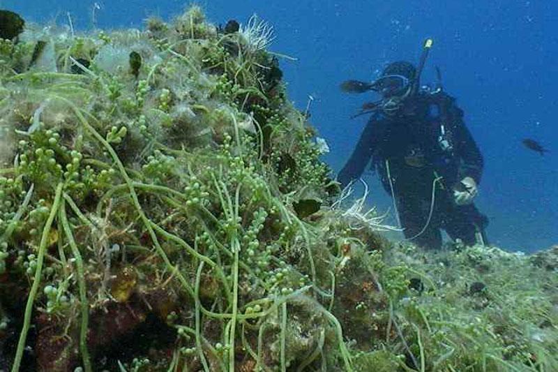 Povlači se alga ubojica!