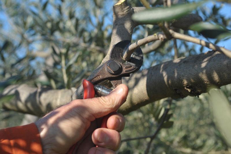 Kako pri sadnji i rezidbi zaštititi masline