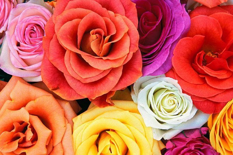 U Vrtlar po ružu za Valentinovo!