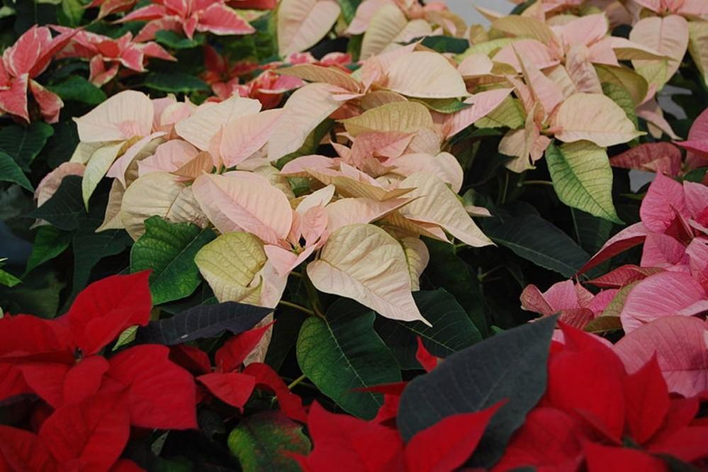 Poinsettia Božićnjak