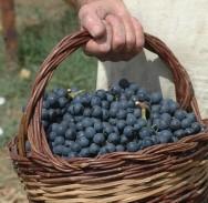 Županija započela s isplatom 360 tisuća kuna pomoći vinogradarima