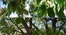 KOŠĆELA Čarobno drvo s mnoštvom naziva