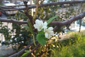 ZANIMLJIVA SCENA Procvala voćka u Novoj Mokošici