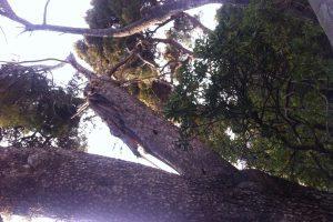 KRAJ ČINGRIJE Napuknuta grana bora danima prijeti prolaznicima