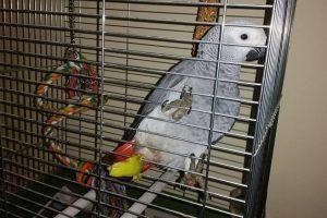 VIKILO, VRATI SE Traži se veliki papagaj sivi žako!