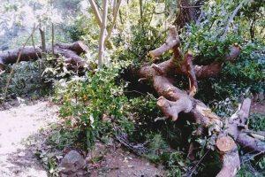 'UŽAS I SRAMOTA' Evo kako su posječeni borovi u perivoju Đorđić Mayneri na Lopudu