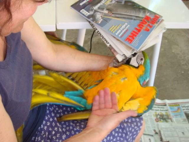 Plavo-žuta Papiga